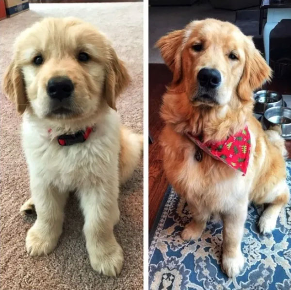 Before and After Dog Growing Up Puppy Transformation